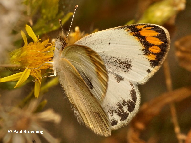 White and Yellow butterflies