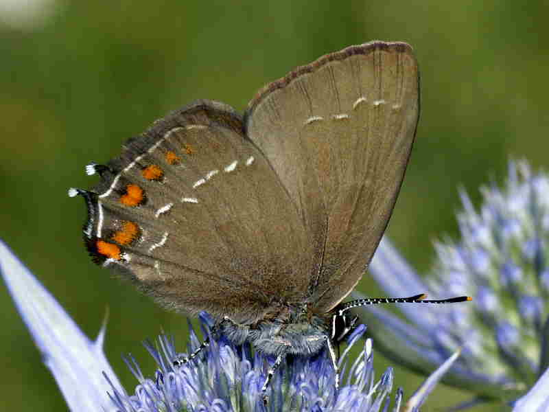 Hairstreak butterflies