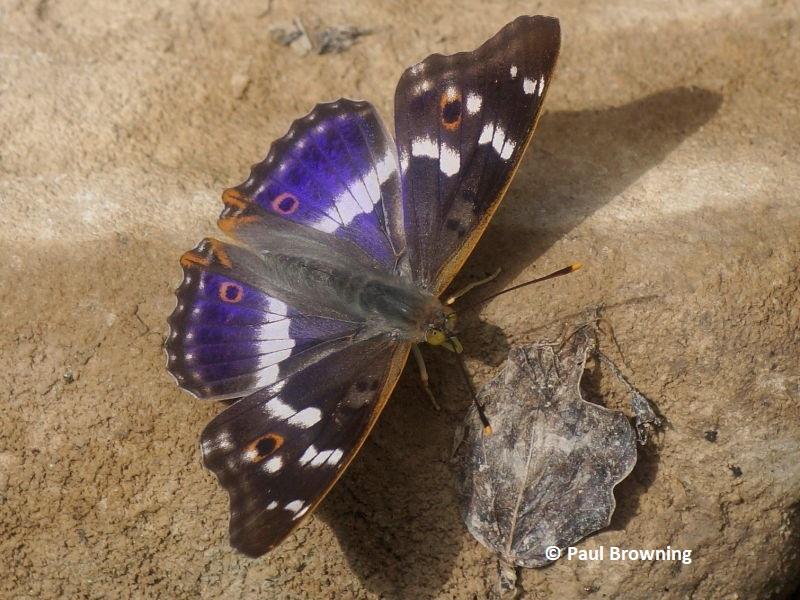 Vanessid butterflies