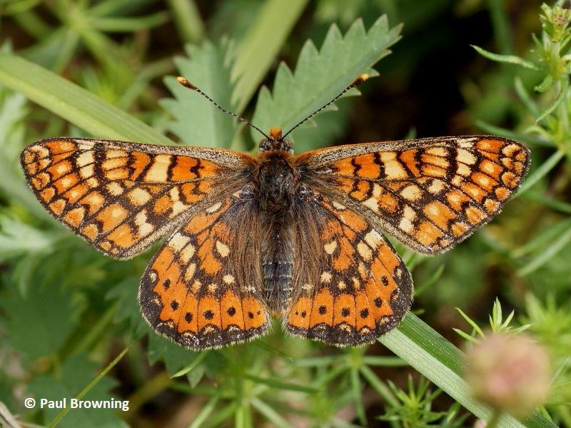 Marsh Fritillary butterfly in Spain