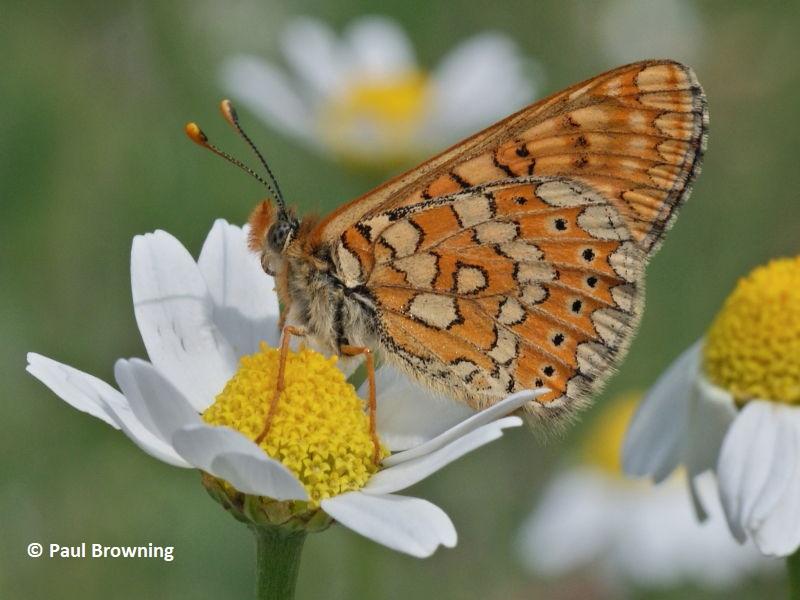 Marsh Fritillary butterfly underside in Spain