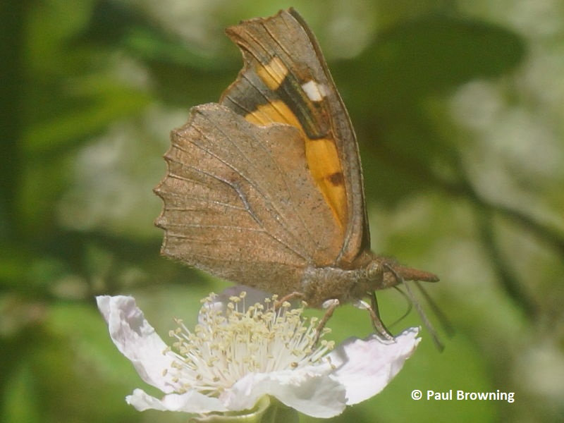 Nettle-tree Butterfly