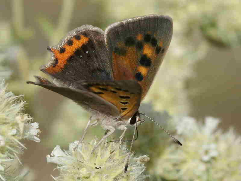 Male Small Copper butterfly recorded by Paul Browning in Caceres, Spain