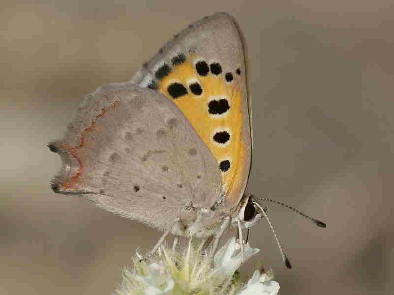 Underside of Spanish male Small Copper butterfly recorded by Paul Browning in Caceres.