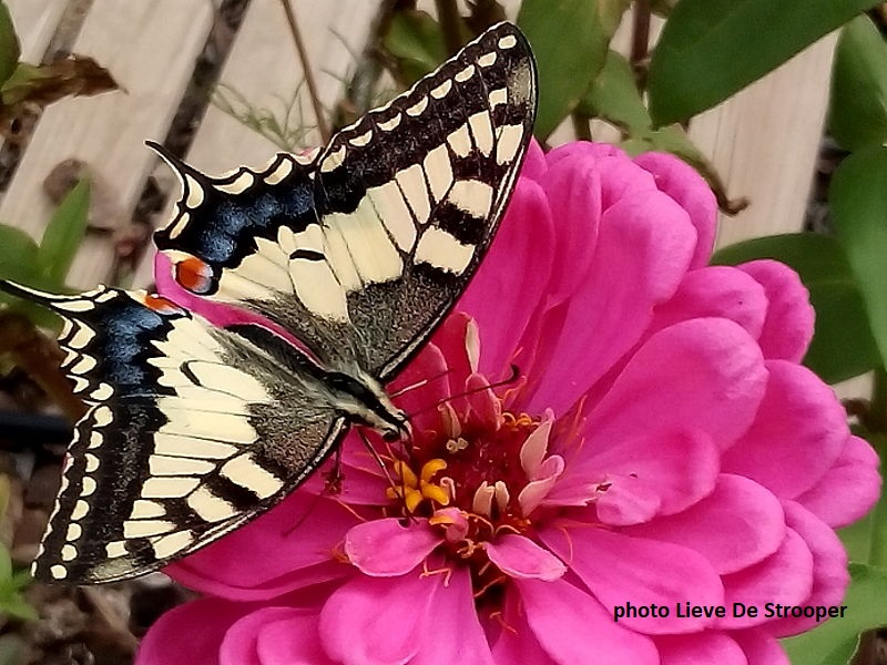 Beautiful Swallowtail butterfly feeding on zenia flower in Catalonia-Spain.