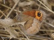 Autumn-Ringlet-butterfly-Erebia-neoridas-D0001