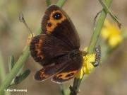 Autumn-Ringlet-butterfly-Erebia-neoridas-D0002