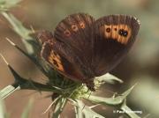 Autumn-Ringlet-butterfly-Erebia-neoridas-D5090