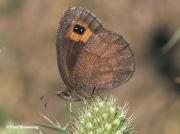 Autumn-Ringlet-butterfly-Erebia-neoridas-D5100