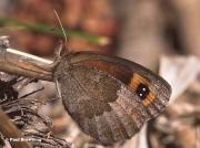 Autumn-Ringlet-butterfly-Erebia-neoridas-D5568