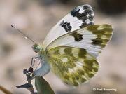 Bath-White-butterfly-Pontia-daplicidice-female-2634