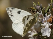 Bath-White-butterfly-Pontia-daplicidice-male-2632