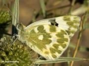 Bath-White-butterfly-Pontia-daplicidice-male-underside-2633