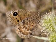 Black-Satyr-butterfly-Satyrus-acteae-5130