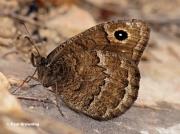 Black-Satyr-butterfly-Satyrus-acteae-7767
