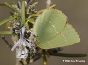 Chapman's-Green-Hairstreak-butterfly-Callophry-avis)