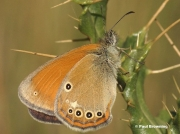 Chestnut-Heath-butterfly-Coenonympha-glycerion-451