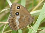 Dryad-butterfly-Minois-dryas-1296