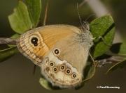 Dusky-Heath-butterfly-Coenonympha-dorus-264