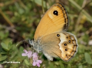 Dusky-Heath-butterfly-Coenonympha-dorus-7795
