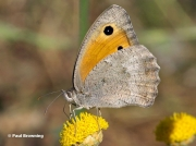 Dusky-Meadow-Brown-butterfly-Hyponephele-lycaon-2245