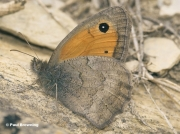 Dusky-Meadow-Brown-butterfly-Hyponephele-lycaon-4916