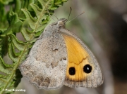 Dusky-Meadow-Brown-butterfly-Hyponephele-lycaon-8009