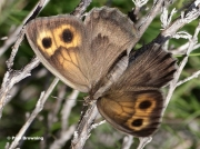 Dusky-Meadow-Brown-butterfly-Hyponephele-lycaon-8012