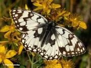 Esper's-Marbled-White-butterfly-Melanargia-larissa-4054