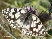 Esper's-Marbled-White-butterfly-Melanargia-larissa-7112