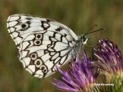 Esper's-Marbled-White-butterfly-Melanargia-larissa-7318