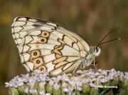Espers-Marbled-White-butterfly-Melanargia-larissa-7344