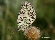 Esper's-Marbled-White-butterfly-Velanargia-larissa-7355