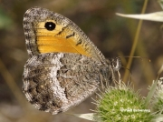 False-Grayling-butterfly-Arethusana-arethusa-D5416