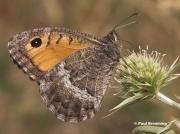False-Grayling-butterfly-Arethusana-arethusa-5422