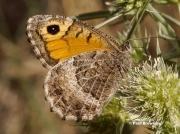 False-Grayling-butterfly-Arethusana-arethusa-6644
