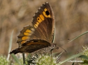 False-Grayling-butterfly-Arethusana-arethusa-6655
