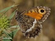 False-Grayling-butterfly-Arethusana-arethusa-9255