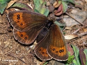 Gavarnie-Ringlet-butterfly-Erebia-gorgone-Spain-D5314