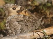 Grayling-butterfly-Hipparchia-semele-162