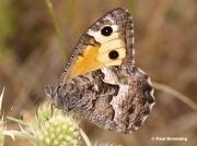 Grayling-butterfly-Hipparchia-semele-4903