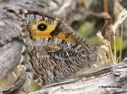 Grayling-butterfly-Hipparchia-semele-5520