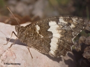 Great-Banded-Grayling-butterfly-Kanetisa-circe-120