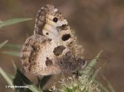 The-Hermit-butterfly-Chazara-briseis-2806