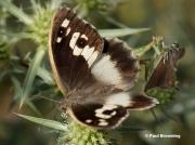 The-Hermit-butterfly-Chazara-briseis-177