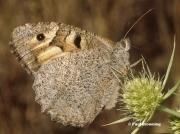 The-Hermit-butterfly-Chazara-briseis-178