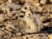 The-Hermit-butterfly-Chazara-briseis-2312