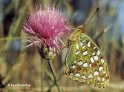 High-Brown-Fritillary-butterfly-Argynnis adippe-2718