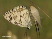 Iberian-Marbled-White-butterfly-Melanargia-lachesis-0175