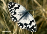 Iberian-Marbled-White-butterfly-Melanargia-lachesis-D0351